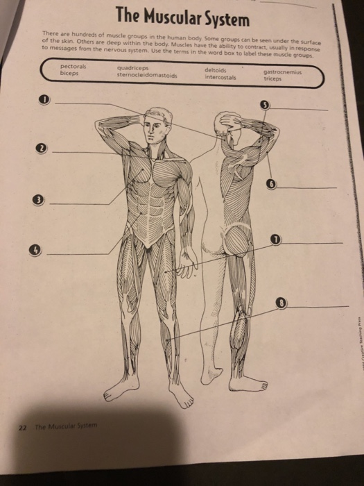 Solved The Muscular System There Are Hundreds Of Muscle G