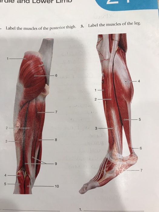 Solved 2label The Muscles Of The Posterior Thigh 3label