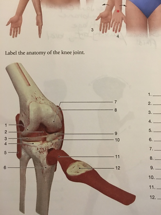 Solved: Label The Anatomy Of The Knee Joint. 2. 4 10 4 7 ...