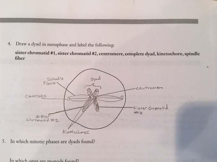 Metaphase diagram labeled information of wiring diagram solved draw a dyad in metaphase and label the following rh chegg com telophase and cytokinesis diagram labeled telophase diagram labeled ccuart Images