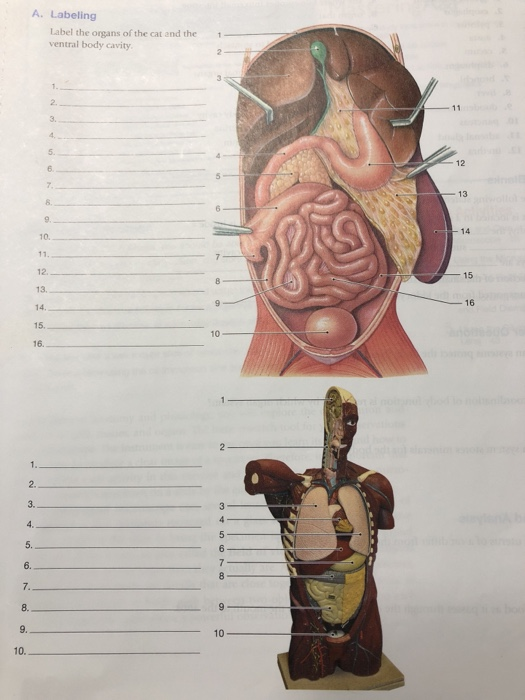 a  labeling label the organs of the cat and the ventral body cavity 5