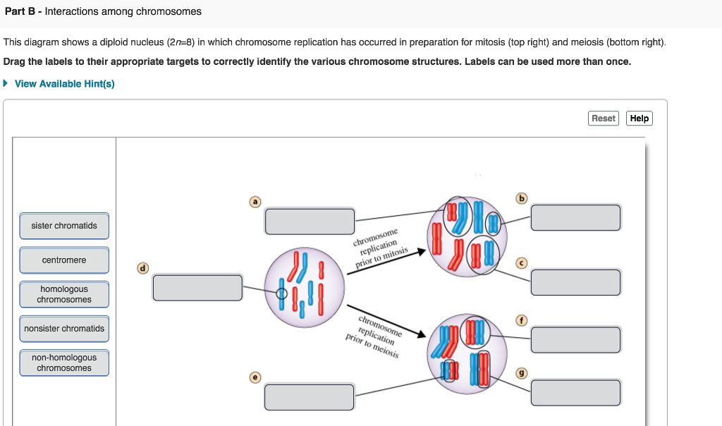 Part B - Interactions among chromosomes This diagram shows a diploid nucleus (2n-8) in which chromosome replication has occurred in preparation for mitosis (top right) and meiosis (bottom right) Drag the labels to their appropriate targets to correctly identify the various chromosome structures. Labels can be used more than once. View Available Hint(s) ResetHelp sister chromatids replicatis centromere 1 homologous chromosomes nonsister chromatids replica non-homologous chromosomes