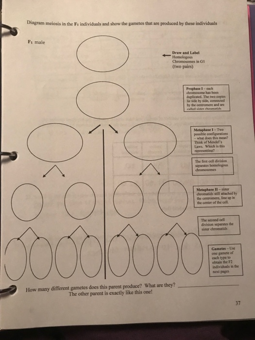 Solved diagram meiosis in the fi individuals and show the diagram meiosis in the fi individuals and show the gametes that are produced by these individuals ccuart Choice Image