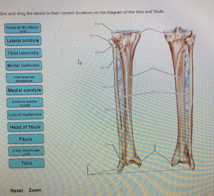 fibular head diagram wiring block diagram Iliac Crest solved click and drag the labels to their correct locatio lateral malleolus fibular head diagram