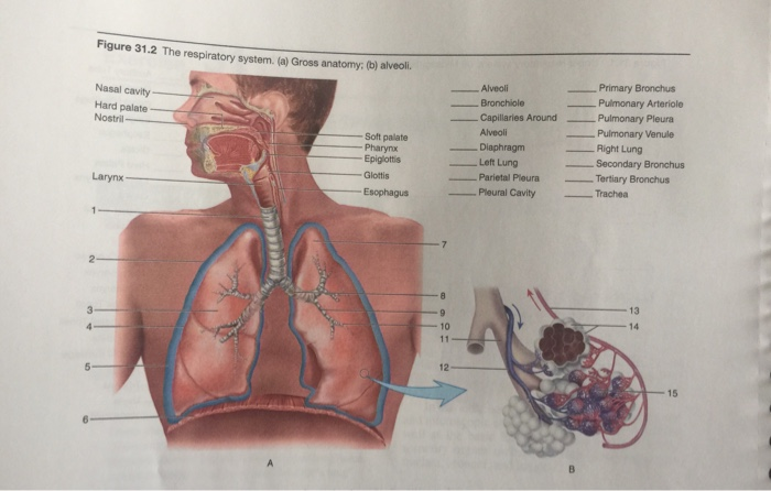 Solved Figure 312 The Respiratory System A Gross Anat