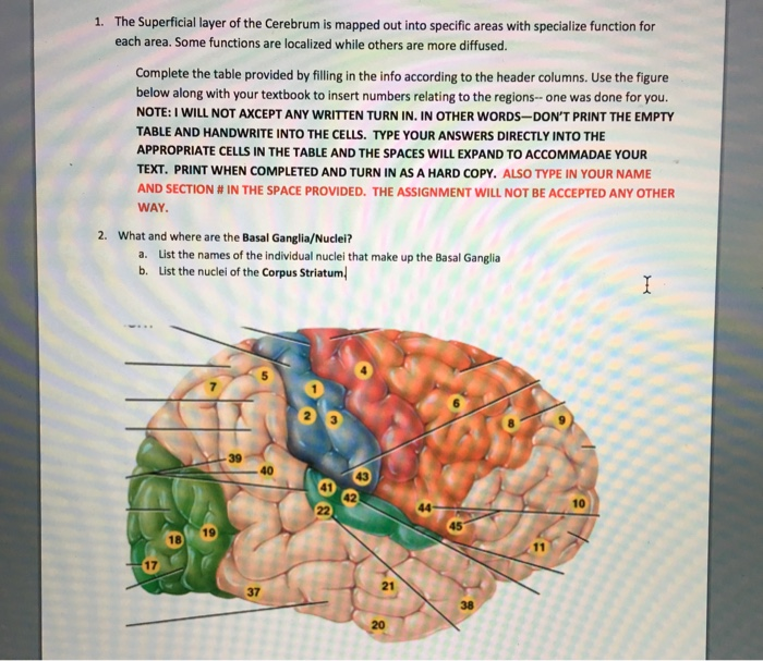 Solved The Superficial Layer Of The Cerebrum Is Mapped Ou