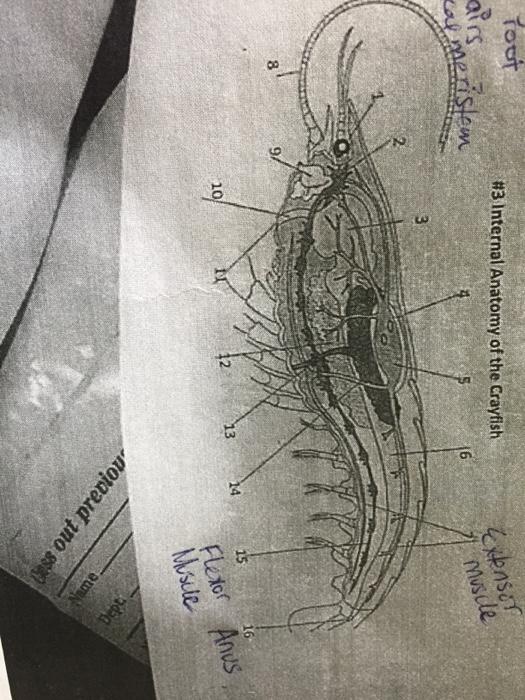 Solved Internal Anatomy Of The Crayfish Chegg