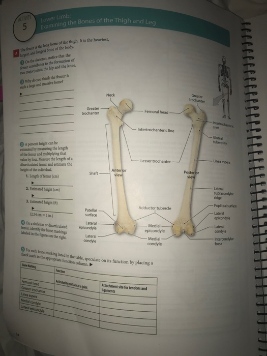 Solved Lower Limb Ing The Bones Of The Thigh And Leg The