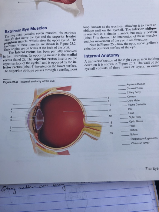 extrinsic eye muscles the eye muscles that move the eye and the superior  levator loop,