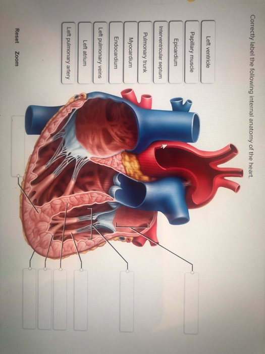Solved Correctly Label The Following Internal Anatomy Of