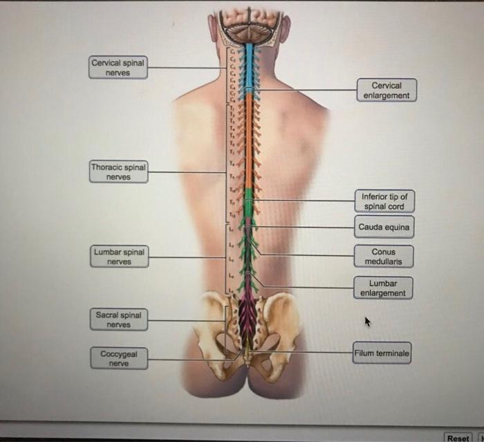Cervical Spinal Nerves Cervical Enlargement Thorac Chegg