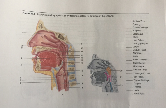 Solved Figure 311 Upper Respiratory System A Midsagit