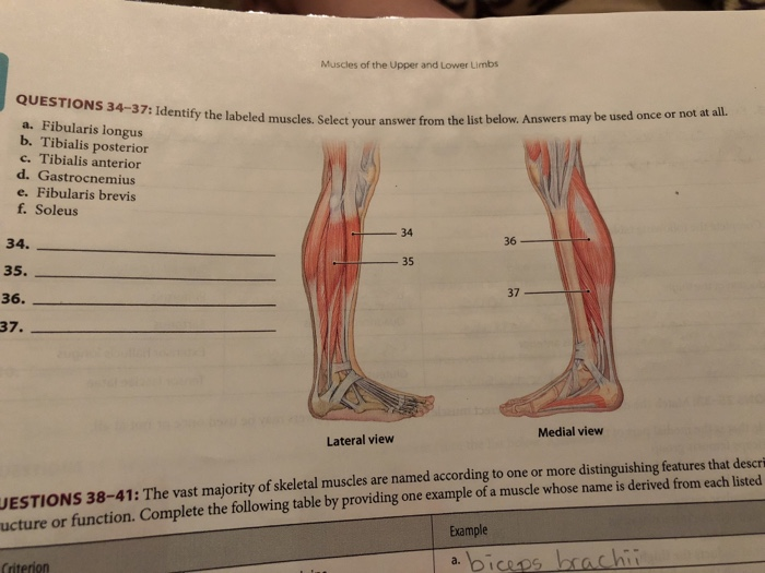 Solved Muscles Of The Upper And Lower Limbs Questions 34
