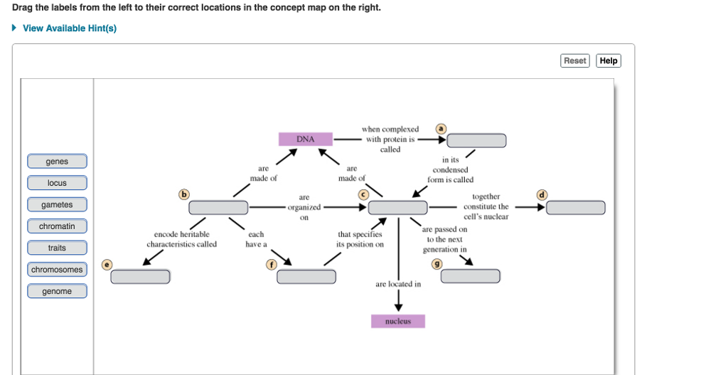 Drag the labels from the left to their correct locations in the concept map on the right. View Available Hint(s) Reset Help when complexed ⓐ DNAwith protein is called in its genes arc arc made of made of form is called locus arc together gametes chromatin traits chromosomes _ constitute the organized on cells nuclear are passed on to the next generation in encode heritable each have a that specifies its position on are located in