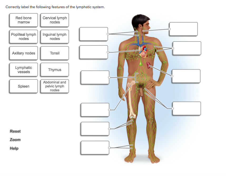Solved Correctly Label The Following Lymphatics Of The Th
