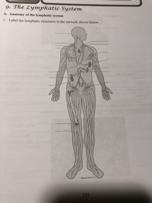 33 Label The Lymphatic System
