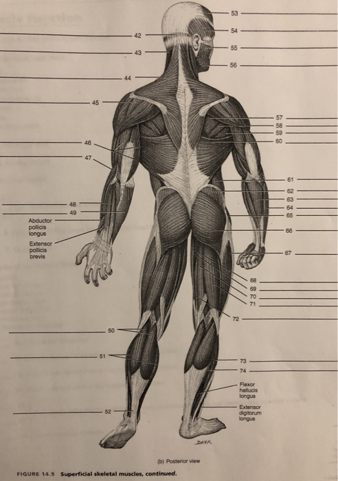 exercise 14 skeletal muscle physiology answers