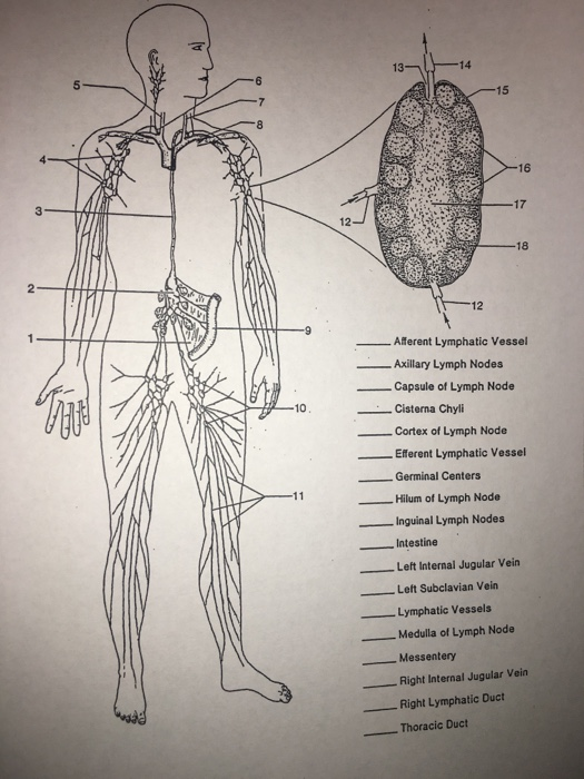 Solved 5 15 16 3 17 12 ü18 12 Aferent Lymphatic Vessel A Chegg Com Cisterna chili is a dilated lymphatic channel that designates the point of origin of the thoracic duct. ー18 12 aferent lymphatic vessel
