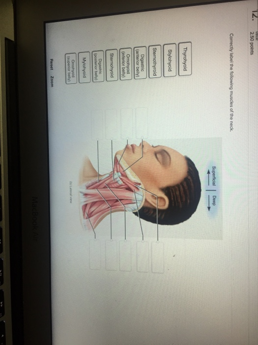 Solved Correctly Label The Following Muscles Of The Neck Chegg