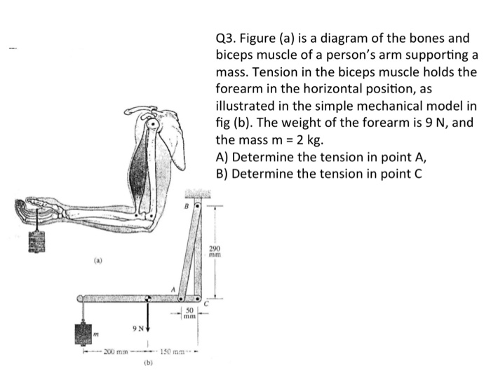 Solved Q3 Figure A Is A Diagram Of The Bones And Bicep