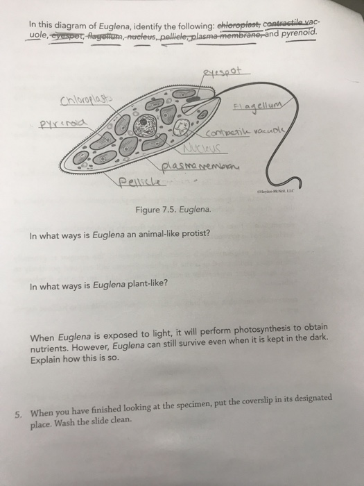 Solved In This Diagram Of Euglena Identify The Following