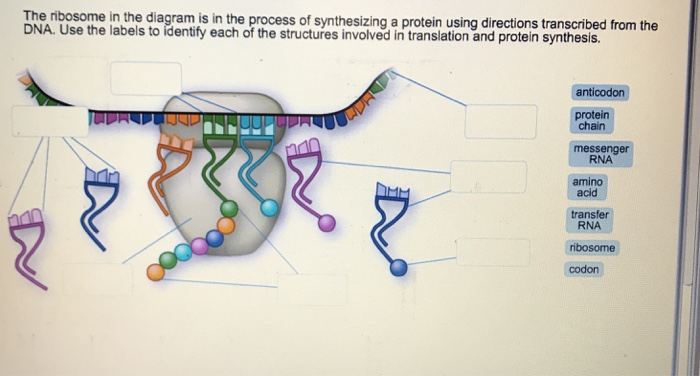 media%2F845%2F84572f6c a4eb 4ce3 b1bd 2a6c7c532466%2Fimage solved the ribosome in the diagram is in the process of s
