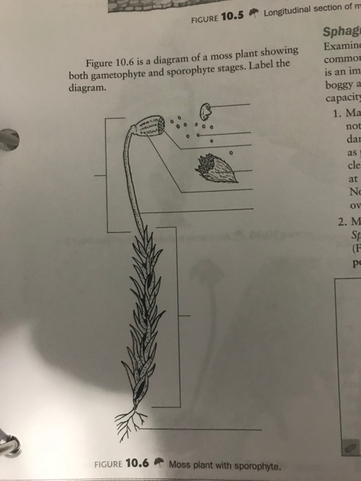 figure 10 5longitudinal section of m sphag figure 10 6 is a diagram of a  moss plant