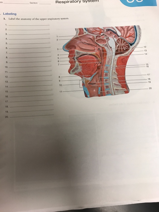 Solved Respiratory System Section Labeling 1 Label Th