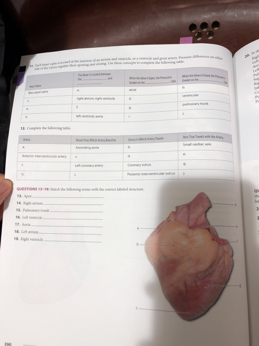 Solved: EXERCISE 21 REVIEW SHEET Gross Anatomy Of The Hear
