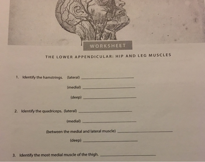 Solved Worksheet The Lower Appendicular Hip And Leg Musc