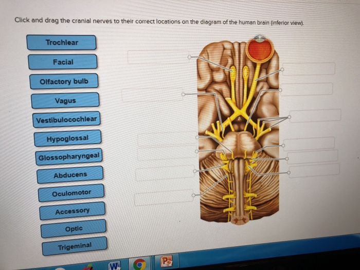 Solved: Click And Drag The Cranial Nerves To Their Correct ...