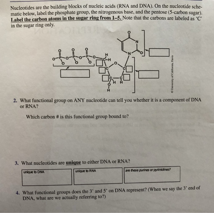 Nucleotides Are The Building Blocks Of Nucleic Acids Rna And Dna On The