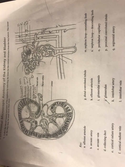 Solved Unctional Microscopic Anatomy Of The Kidney And Bl