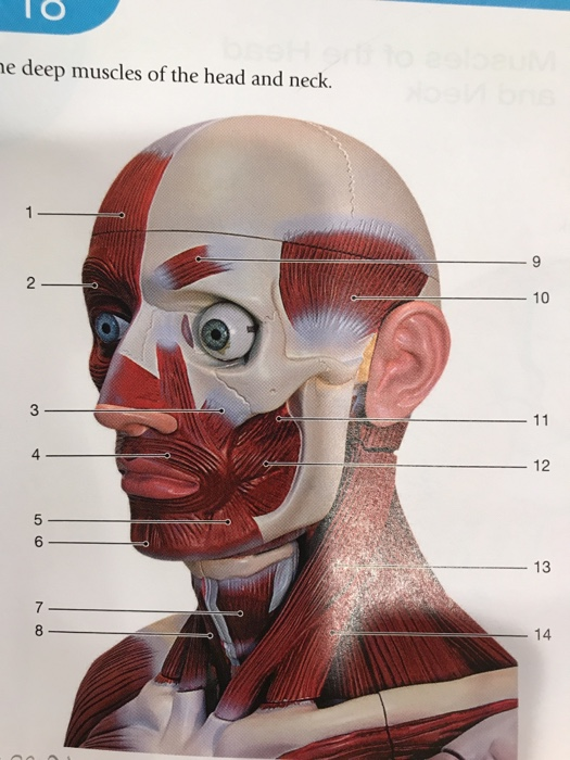 Solved: E Deep Muscles Of The Head And Neck 2 ー10 0 4 12 ...