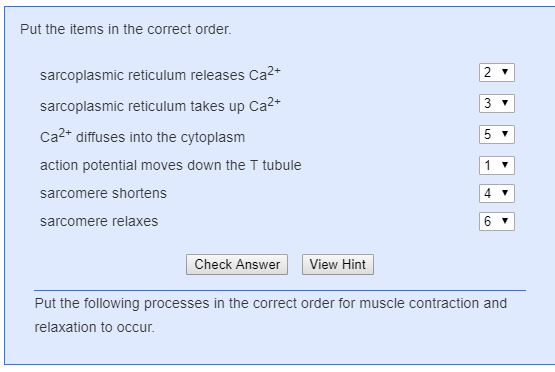 Put the items in the correct order. sarcoplasmic reticulum releases Ca2 sarcoplasmic reticulum takes up Ca2+ Ca + diffuses in