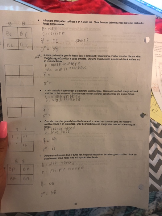 X Linked Genetics In The Calico Cat Worksheet Answers