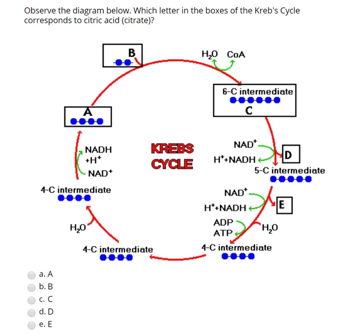 observe the diagram below  which letter in the boxes of the krebs cycle  corresponds to
