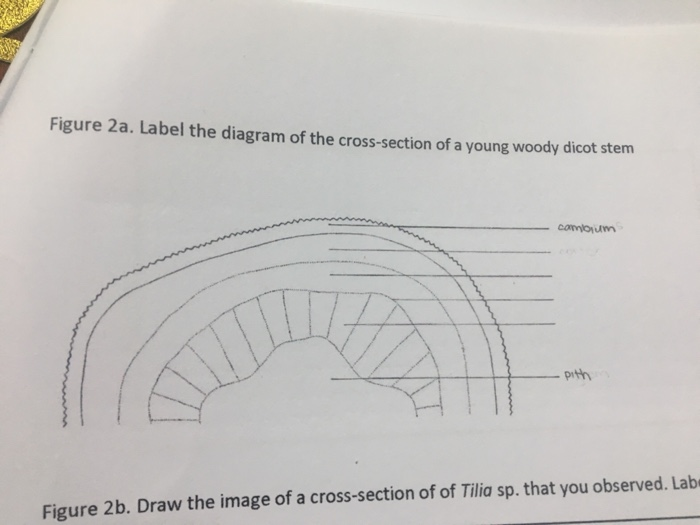 Solved Label The Diagram Of The Cross Section Of A Young