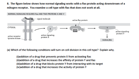 8. The figure below shows how normal signaling works with a Ras protein acting downstream of a mitogen receptor. You examine