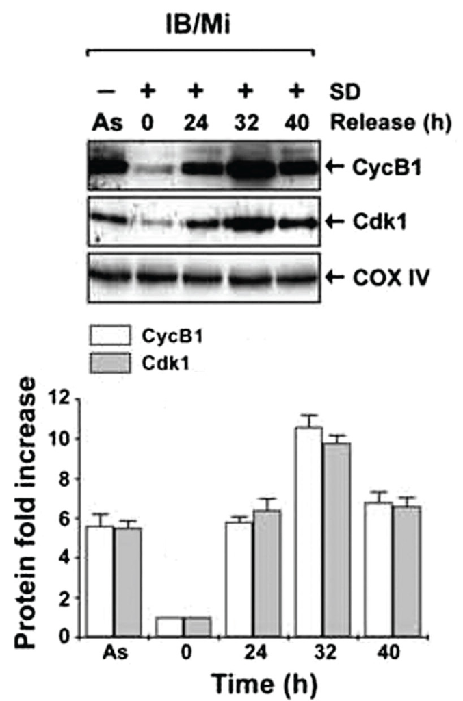 IB/Mi As 0 24 32 40 Release (h) CycB1 6 n 12 10 a 0 As 0 24 32 40 Time (h)