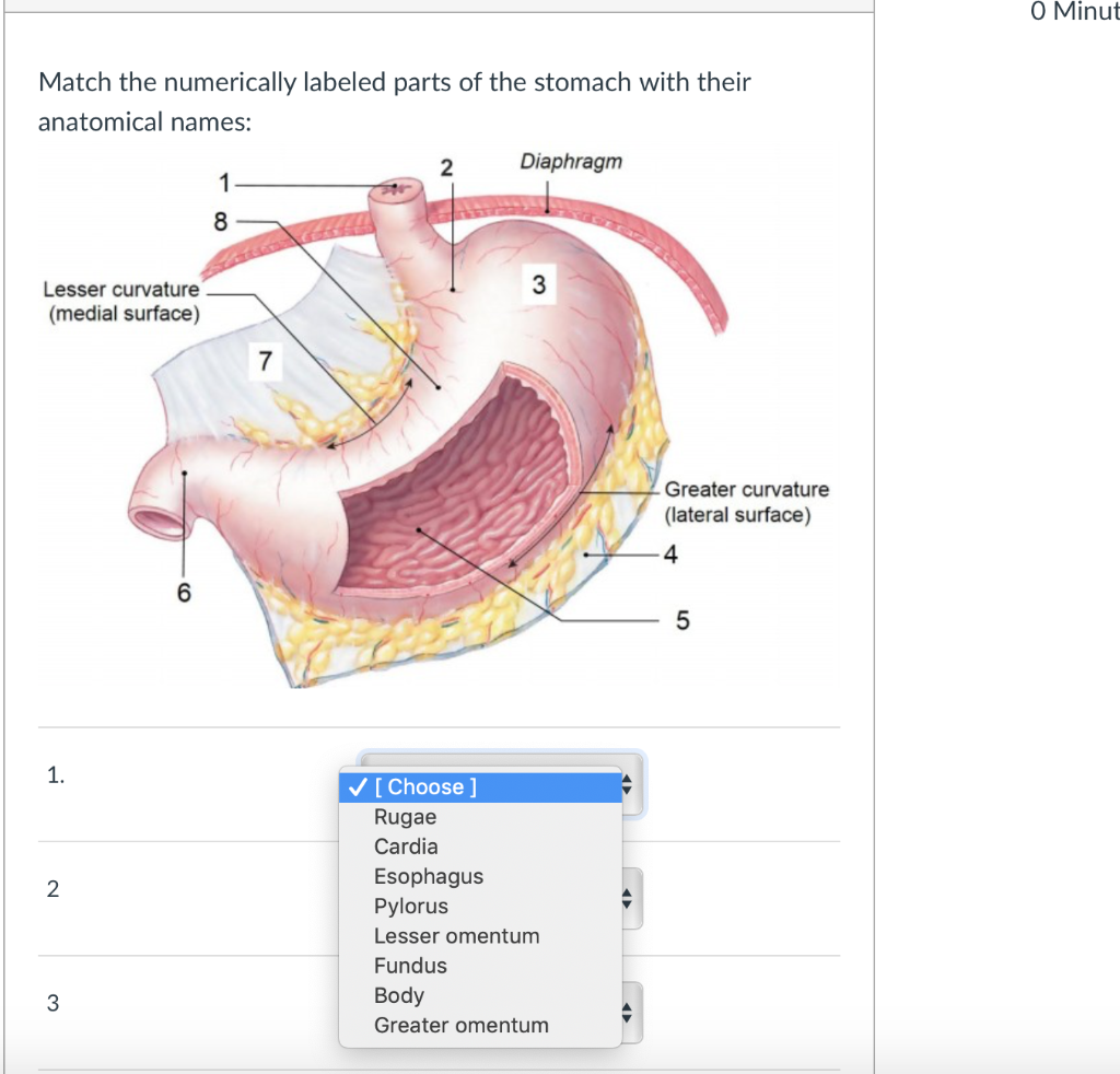 minut 0 match the numerically labeled parts of the stomach with their  anatomical names: diaphragnm