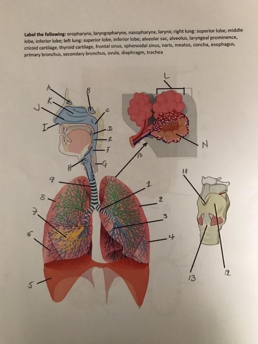 Solved Label The Following Oropharynx Laryngopharynx N