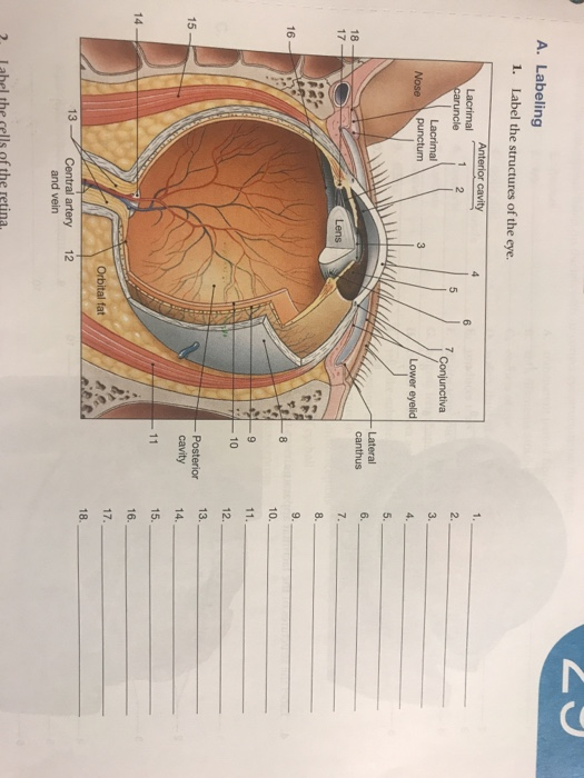Solved A Labeling Label The Structures Of The Eye 1 2