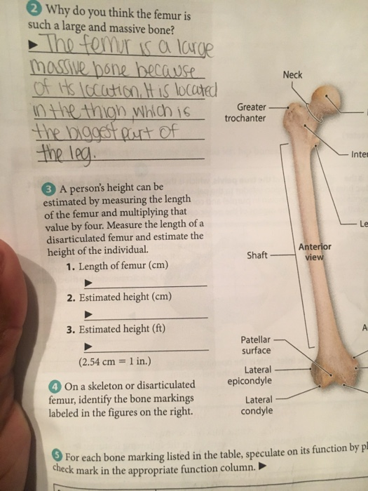 Solved 2 Why Do You Think The Femur Is Such A Large And M