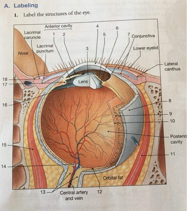 Solved a labeling 1 label the structures of the eye an label the structures of the eye anterior cavity 1 2 ccuart Choice Image