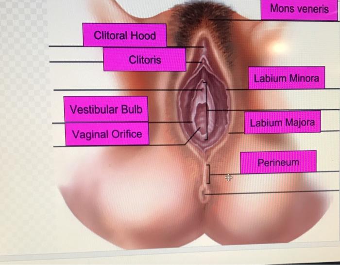Vaginal Opening, Bulb Of Vestibule Anatomy