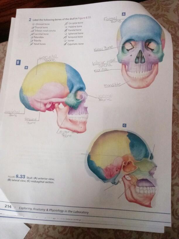 2 label the folowing bones of the skull in figure 8 33  occipital bone u  palatine