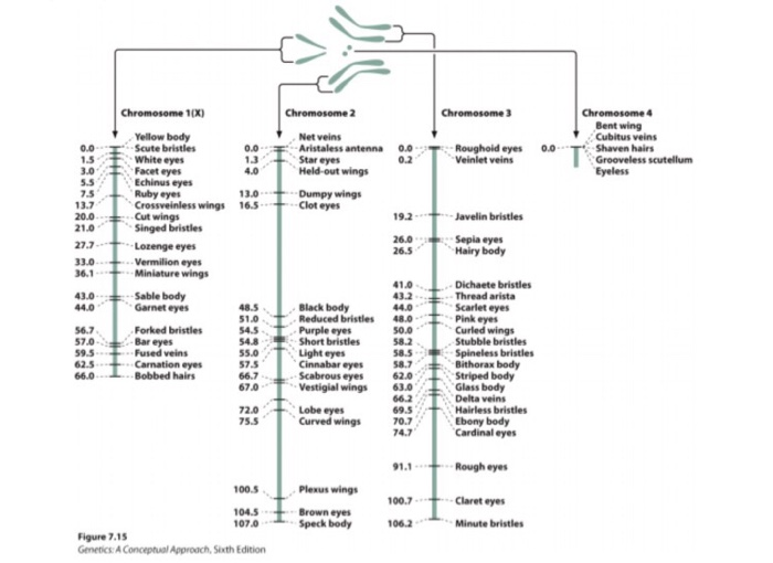 Solved: The Fruit Fly Genetic Map Is Given. Based On This ... on plasmid map, concept map, symptom map, chromosome map, library map, norman map, order genetic map, antigen map, human genetic map, dna map, genetic code map, sequencing map, ebola outbreak 2014 map, patricia map, europe genetic map, genome map, person standing on a map, cloning map, vector map, hierarchy map,