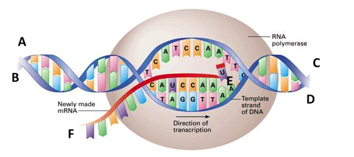 Solved: Below You See A Diagram Of Transcription. The Nucl...   Chegg.comChegg