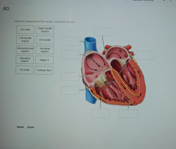 Solved 40 Label The Components Of The Cardiac Conduction